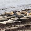 2019-06-18_284_Año Nuevo SB_Bight Beach_Elephant Seals.JPG