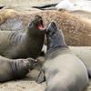 2019-06-21_462_Piedras Blancas_Elephant Seals.JPG<br /> <br /> Sparring juvenile elephant seals