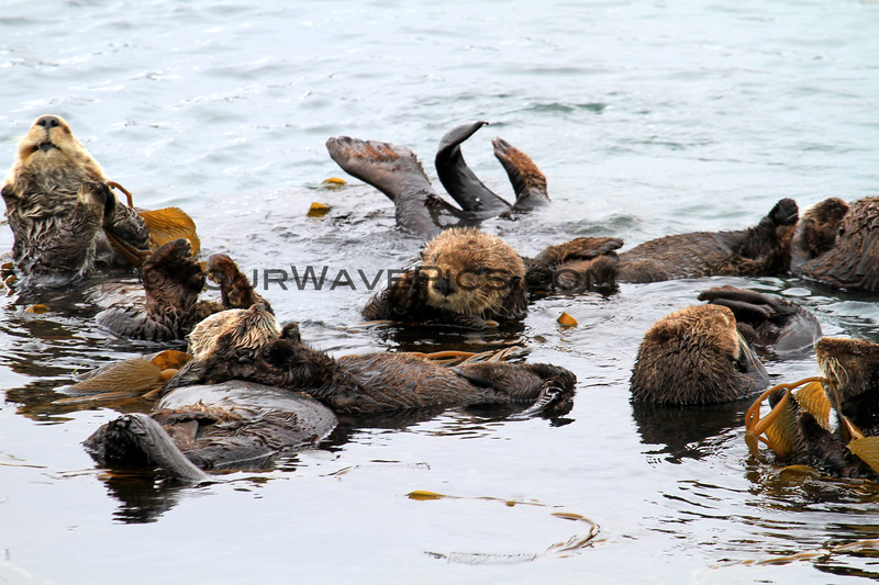 2019-06-22_537_Morro Bay_Otters.JPG