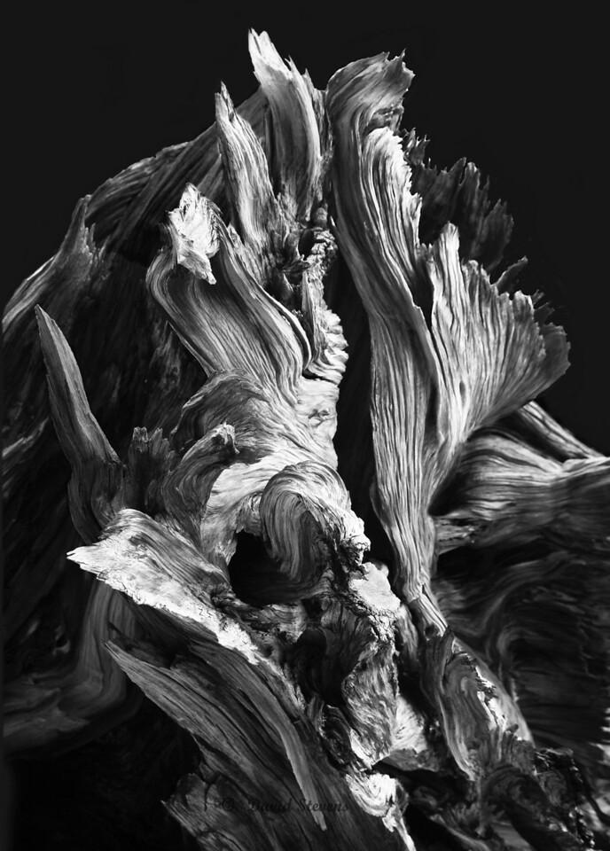 Bristlecone black bw