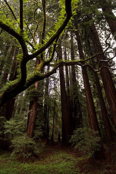 Ferny tree - Mill Valley, CA