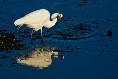 Great Egret after attempting to catch fish
