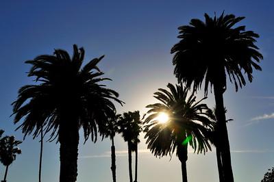 Palm Trees, Santa Monica