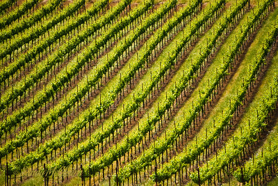 Rows of grape vines in the Schug Winery vineyard in the Sonoma Valley, California.