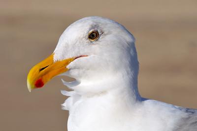 Seagull on the Santa Monica Pier