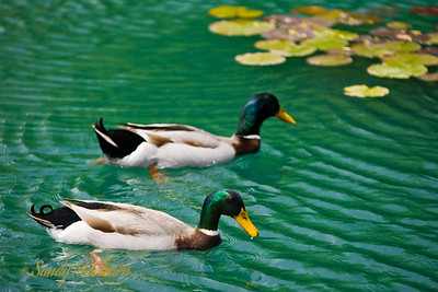 Two ducks in a winery pond.