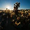 Cholla at sunrise. Joshua tree np, California.