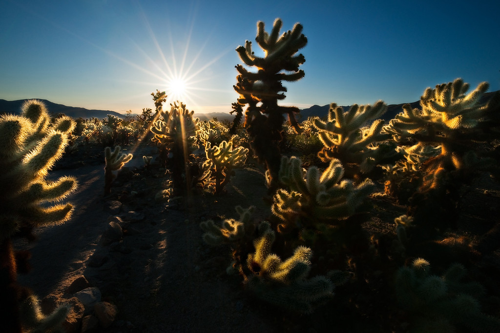 Cholla at sunrise. Joshua tree np, California.