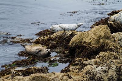 Fanshell Overlook California Seals