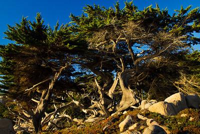 Tree 17 mile beach