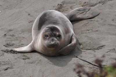 Elephant Seal in California