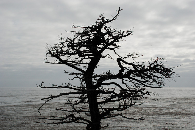 "<span id=""title"">Cypress Sillouette </span> Pebble Beach is famous for its Cypress trees"