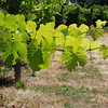 "<span id=""title"">Vines in Vineyard, Sonoma </span> It's what the grapes grow on"