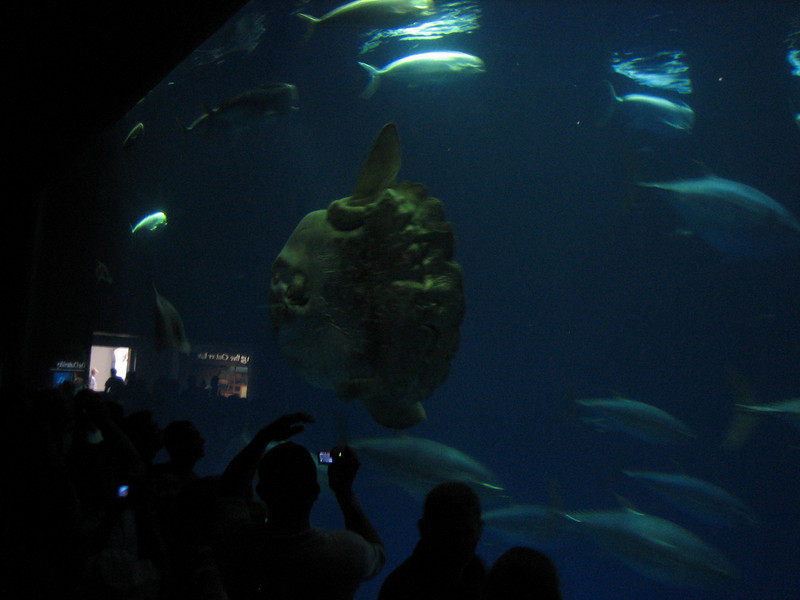 "<span id=""title"">Sunfish</span> Monterey Bay Aquarium"