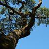 "<span id=""title"">Coastal Redwood </span>"