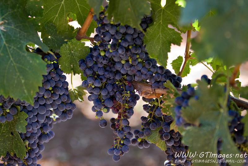 Grapes at Benziger.