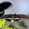 Common Mormon Butterfly, Papilio Polytes of Southeast Asia at Callaway Gardens in Pine Mountain, Georgia.