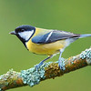 The great tit is a cool little bird (photo not mine). I saw maybe half a dozen great tits in the Parc. Sometimes you have to be pretty patient to see great tits, but it's always worth it. France's great tits are cute and perky.<br /> <br /> <br /> And yes, this is an awesome hobby.