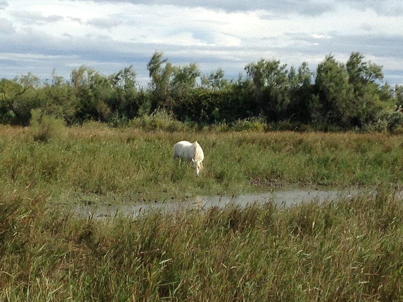 Here's one of the famous white horses grazing in what appears to be a salt marsh. Clearly he's getting some nutrition out of it, but how I don't know.