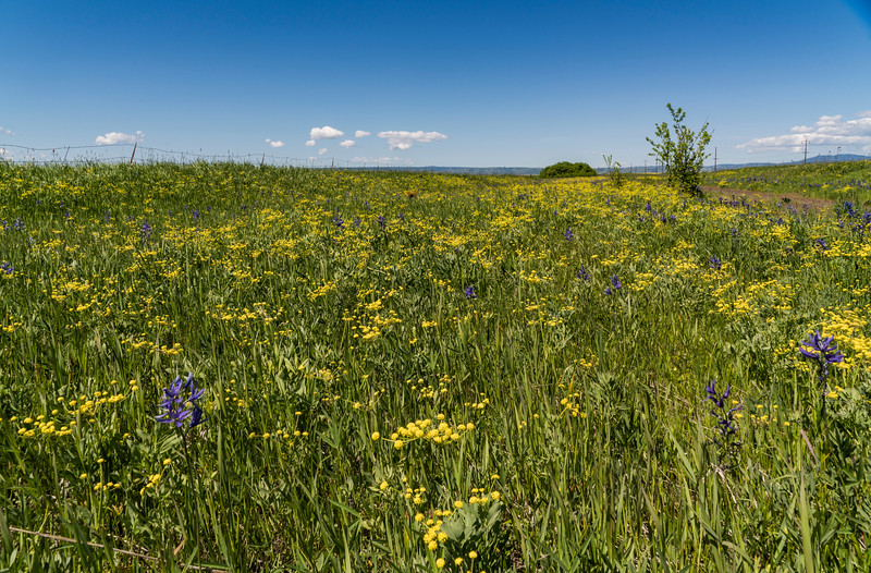 Wild Camas Flowers