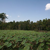 Fields on the way to Bantey Srei