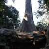 Tree growing out of the ruins at Ta Prohm