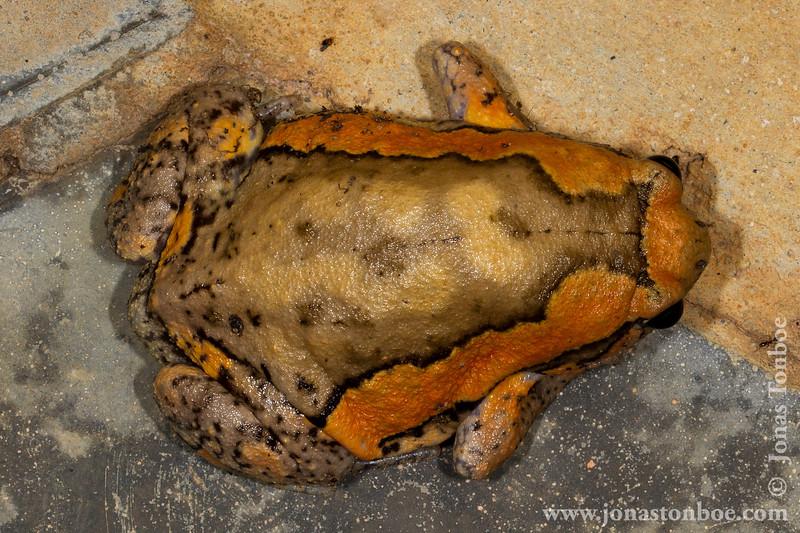 Asian Painted Frog aka Banded Bull Frog