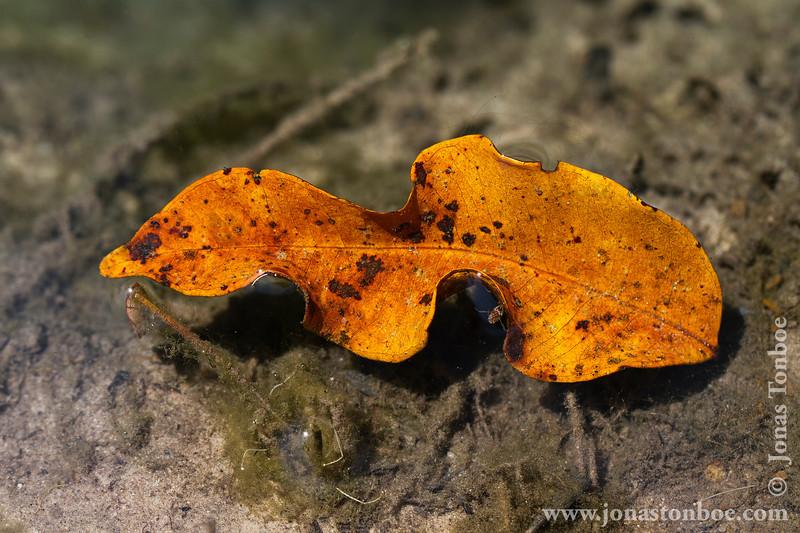 Leaf in Siem Riep River