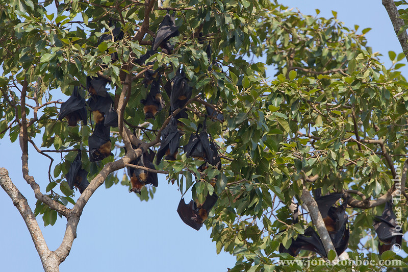 Fruit Bat Colony