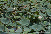 Moat and Lotus Flowers