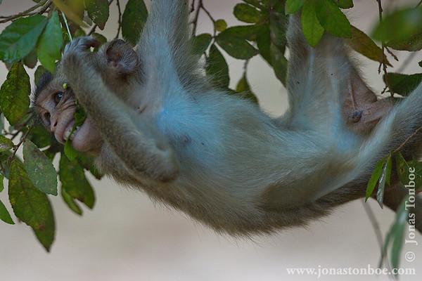 Siem Reap. Angkor Wat: Long-tailed Macaque (Macaca fascicularis)