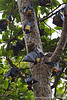 Fruit Bat Colony