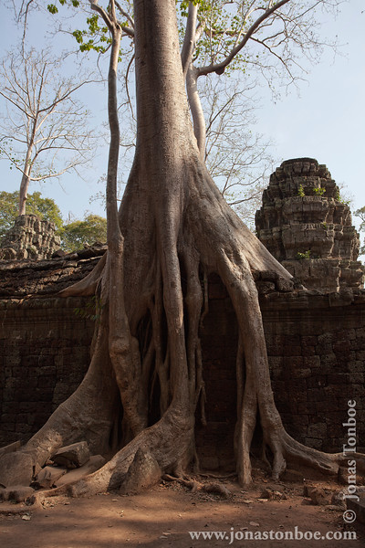 Tree Growing on Main Temple