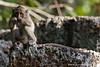 Siem Reap. Angkor Wat: Long-tailed Macaque (<i>Macaca fascicularis</i>)