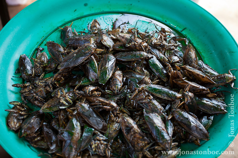 Cicadas For Sale
