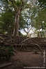 Tree Growing on Main Temple Wall
