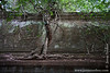 Tree Growing on Main Temple Wall