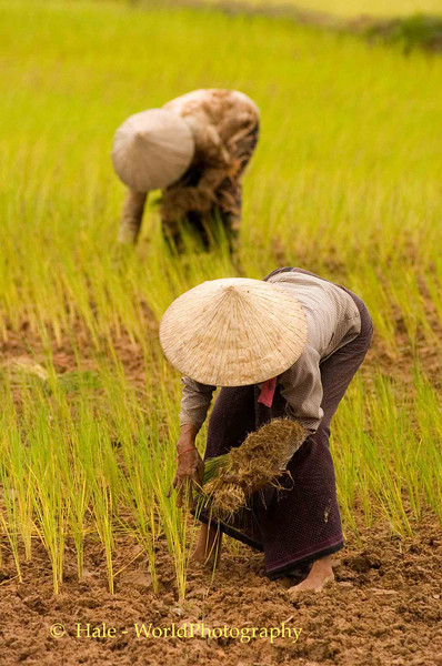 Planting Rice Sprouts, Siem Reap Cambodia