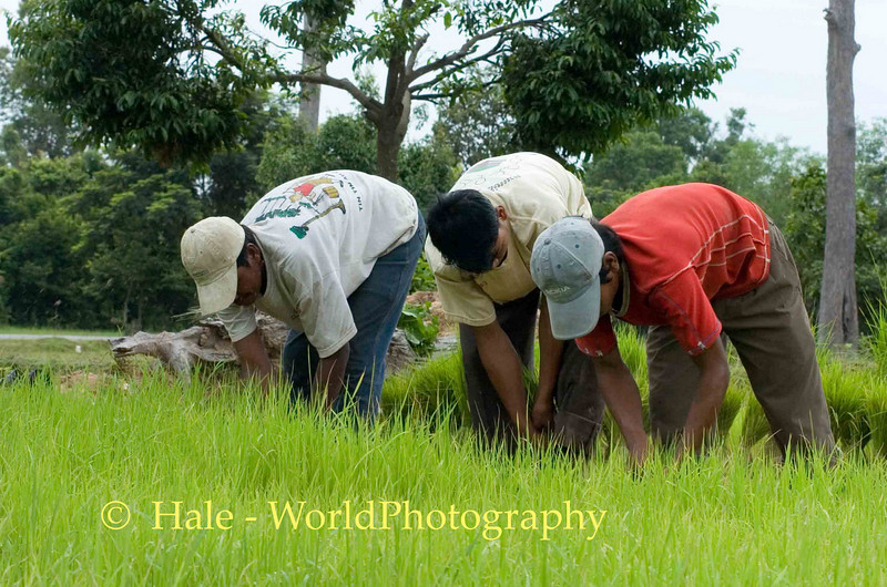 Pulling Rice Sprouts, Siem Reap Cambodia