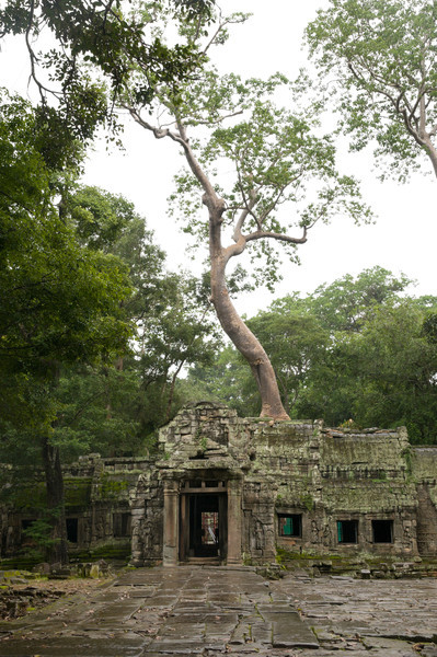 Ta Prohm, built in the 12th century, has been largely left to the forest's overgrowth. Enormous trees grow lethargically out of the crumbling stone.