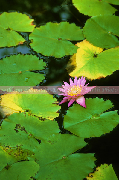 Lilly Pond in garden