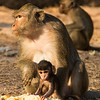 Roadside monkeys,  Bayon Temple, Angkor, Cambodia