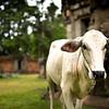Cow guarding a  temple