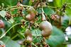 Unripe Cashew Nuts