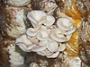 Cambodia - Siem Reap - Nagathom Fund farm - mushrooms
