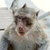 Angkor Complex Monkey