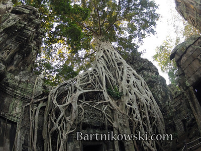 Ta Prohm Looking up into Tree Branches, Cambodia