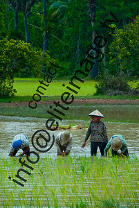 A group of workers plant out the rice crop in a Cambodian paddy field
