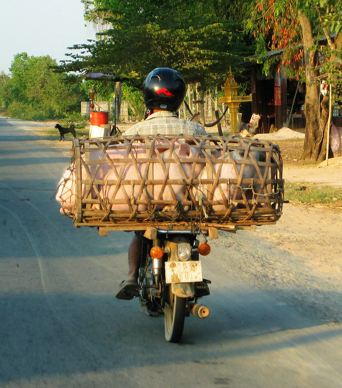 Traveling pigs, Cambodia.