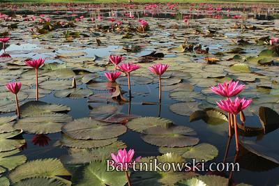 Lotus Pond, Angkor Wat, Siem Reap, Cambodia